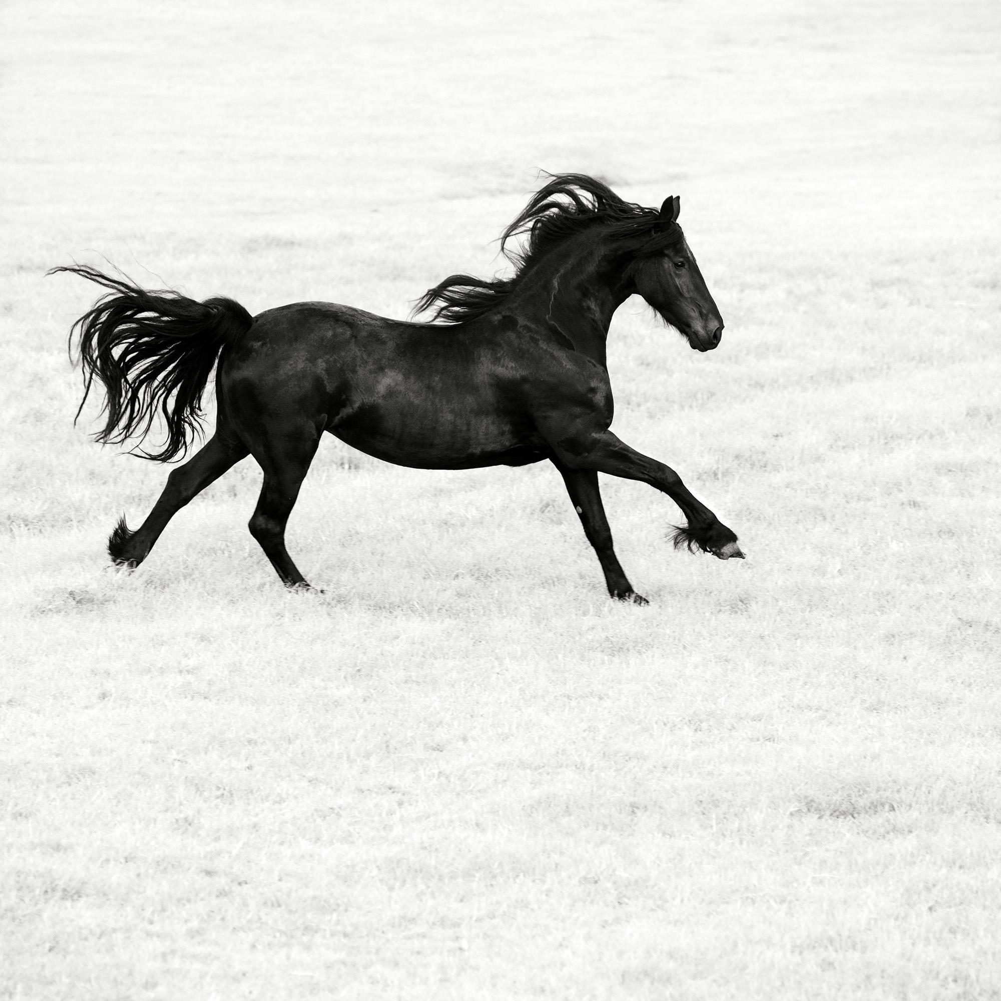 friesian horses animals netherlands - photo #29
